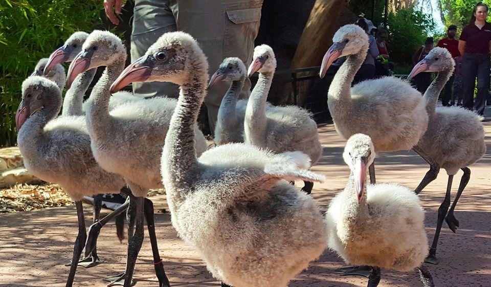 Flamingo chicks at Phoenix Zoo