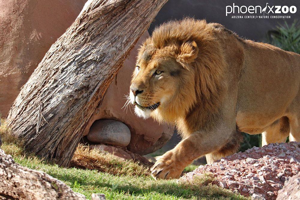 Lion at Phoenix Zoo