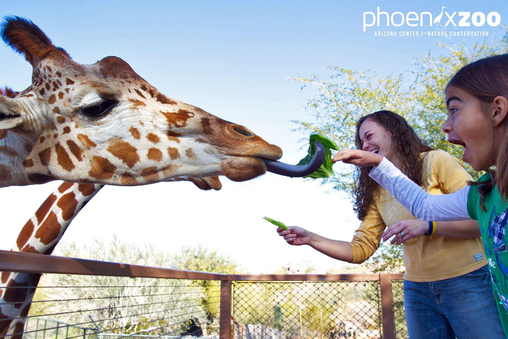 Giraffe at Phoenix Zoo