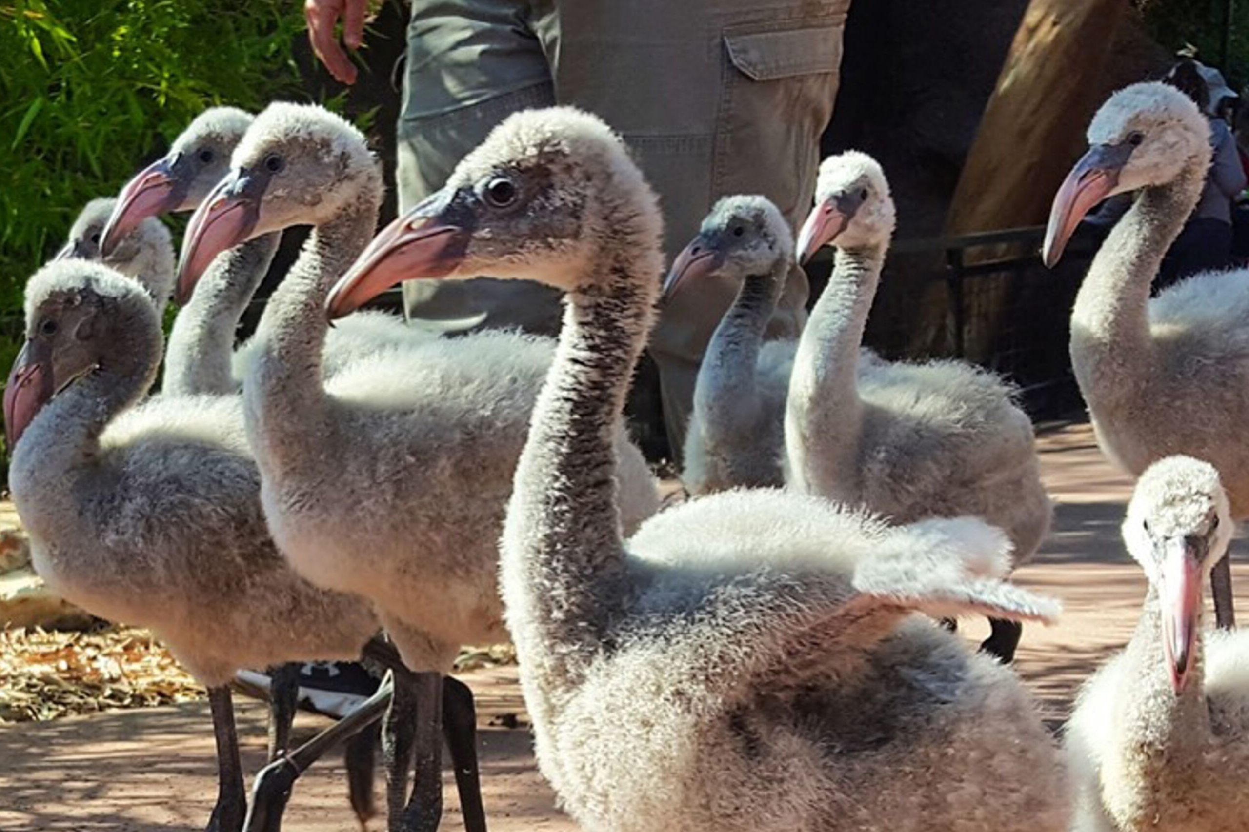 Visit Flamingo Chicks & More at the Phoenix Zoo in Arizona!